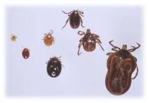 Tick Identification